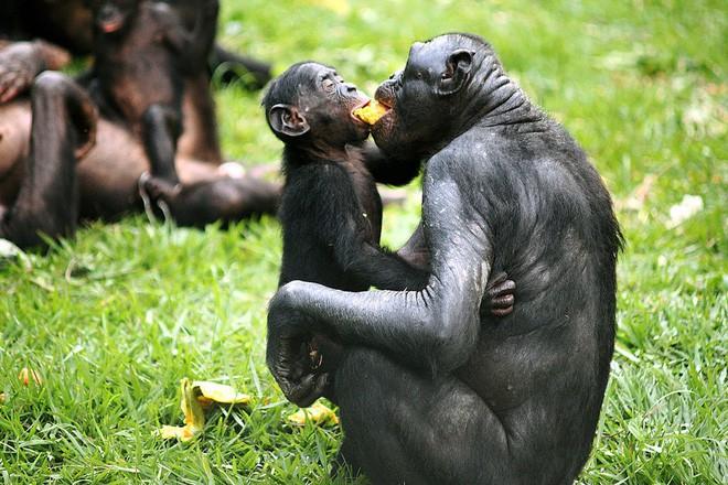 Loài vượn xứng danh bà mẹ tuyệt vời nhất tự nhiên: Tự tay dắt con đi hỏi vợ, lại đứng canh để chúng yêu đương cho tử tế - Ảnh 11.