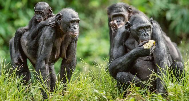 Loài vượn xứng danh bà mẹ tuyệt vời nhất tự nhiên: Tự tay dắt con đi hỏi vợ, lại đứng canh để chúng yêu đương cho tử tế - Ảnh 12.