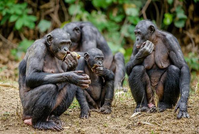 Loài vượn xứng danh bà mẹ tuyệt vời nhất tự nhiên: Tự tay dắt con đi hỏi vợ, lại đứng canh để chúng yêu đương cho tử tế - Ảnh 3.
