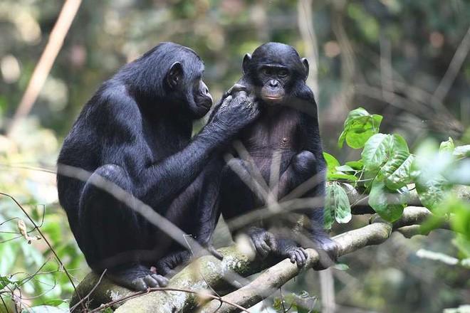Loài vượn xứng danh bà mẹ tuyệt vời nhất tự nhiên: Tự tay dắt con đi hỏi vợ, lại đứng canh để chúng yêu đương cho tử tế - Ảnh 5.