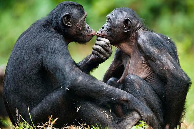 Loài vượn xứng danh bà mẹ tuyệt vời nhất tự nhiên: Tự tay dắt con đi hỏi vợ, lại đứng canh để chúng yêu đương cho tử tế - Ảnh 6.