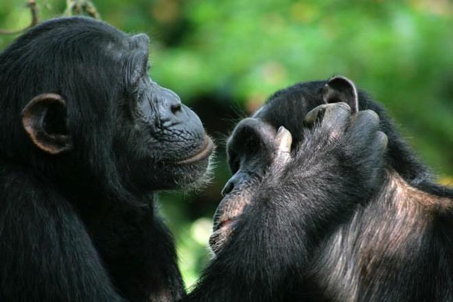 Loài vượn xứng danh bà mẹ tuyệt vời nhất tự nhiên: Tự tay dắt con đi hỏi vợ, lại đứng canh để chúng yêu đương cho tử tế - Ảnh 7.