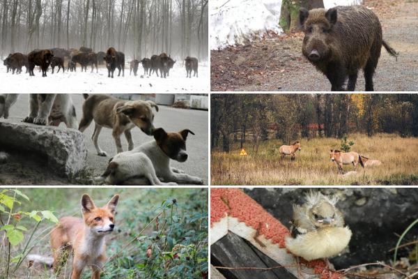 Chernobyl không hóa thành hoang mạc, thay vào đó, khoảng thời gian hơn 40 năm đã chữa lành những vết thương trong môi trường sống và quần thể sinh vật đã phát triển trở lại. (Ảnh: Flickr, Getty, Wikimedia)