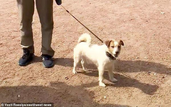Jack Russell, chú chó tìm thấy bé gái sơ sinh bị mẹ bỏ rơi trong bụi rậm.