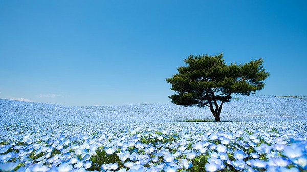 http://sohanews.sohacdn.com/k:2014/1-nemophilas-field-hitachi-seaside-park-1-83caf-1404914997516/ngo-ngang-truoc-canh-dong-hoa-dep-nhu-trong-co-tich-o-nhat-ban.jpg
