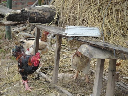 Ngoài ra, Giang Còi còn nuôi rất nhiều con vật quý, có giá như lợn rừng và gà Đông Cảo