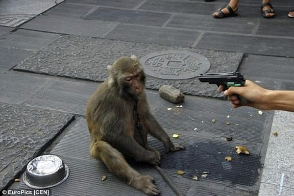 Người Chủ Độc Ác Đã Chĩa Súng Nhựa Để Ép Những Chú Khỉ Nhảy Múa, Trình Diễn  Mua Vui Cho Người Đi Đường.
