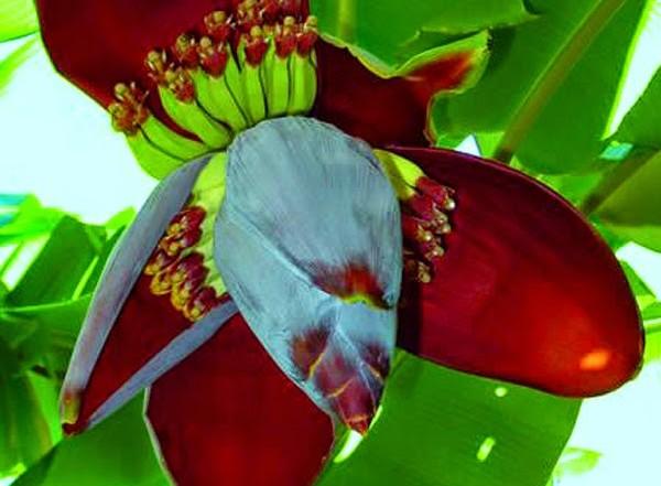 Hoa chuối có công dụng chữa bệnh hiệu quả và được sử dụng nhiều trong Đông y.