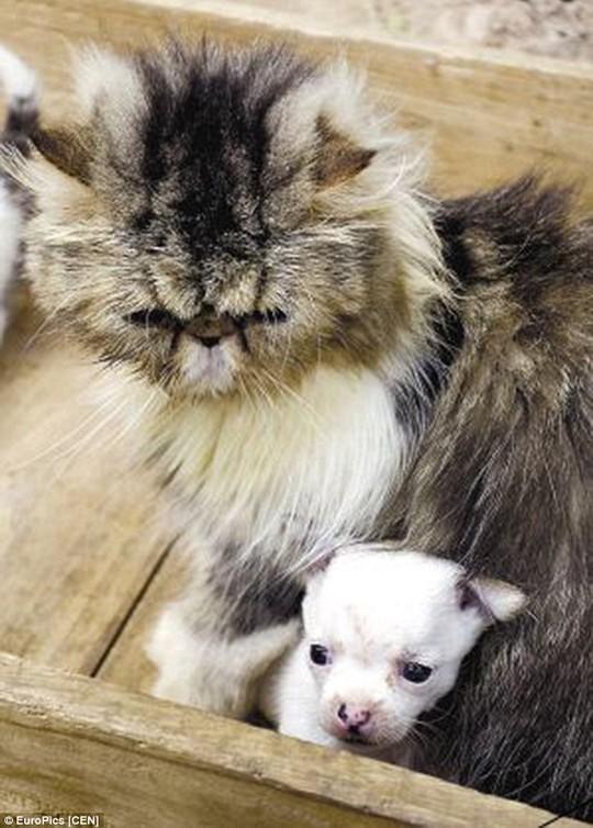 Mèo mẹ Niuniu và đứa con lạc loài. Ảnh: EuroPics