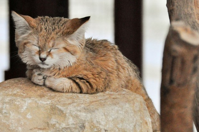http://cdn.zmescience.com/wp-content/uploads/cache/2015/07/sand-cats-kittens-forever-12/3857711921.jpg