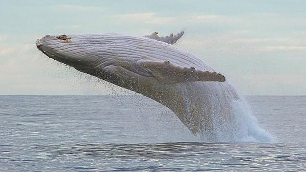 Albino blue whale
