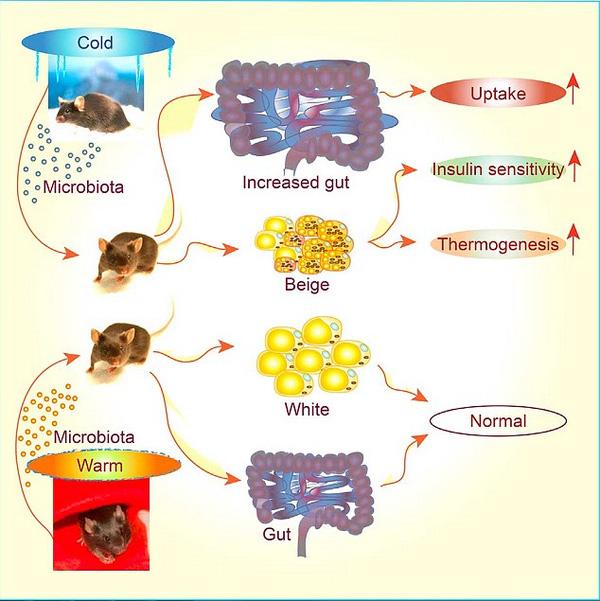 Quá trình vi khuẩn thay đổi trong ruột chuột khi tiếp xúc với cái lạnh