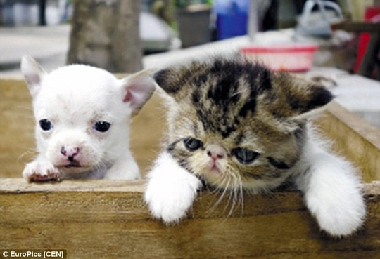 Con vật giống hệt chó Chihuahua. Ảnh: EuroPics