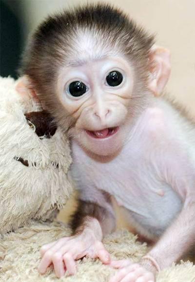 Chỉ những con khỉ nhỏ, mạnh khỏe mới được đem ra làm món ăn