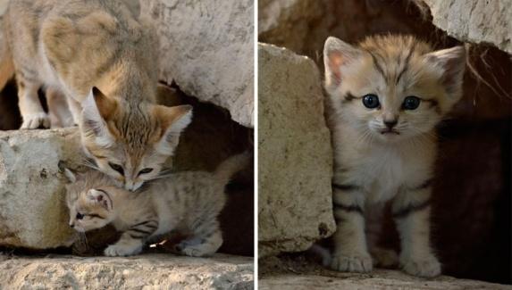 http://cdn.zmescience.com/wp-content/uploads/cache/2015/07/sand-cats-kittens-forever-101/621683882.jpg