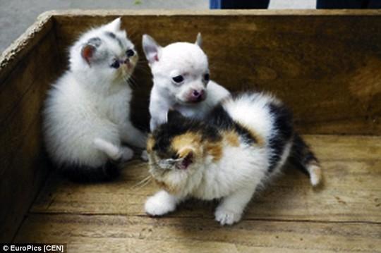 Mèo Chihuahua khác hẳn so với anh em của nó và khôn hơn hẳn. Ảnh: EuroPics