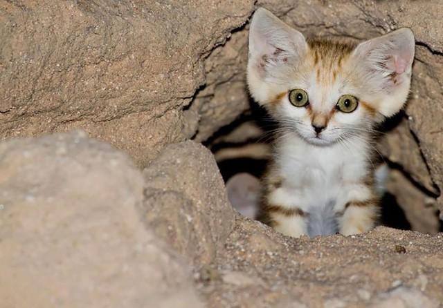 http://cdn.zmescience.com/wp-content/uploads/cache/2015/07/sand-cats-kittens-forever-4__880/3083143056.jpg