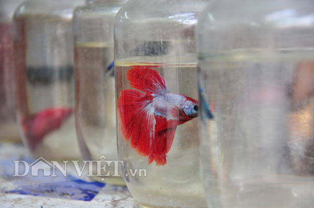 Theo ông Hiệp, hàng năm vào vụ tháng 4,5, cá được ông nhập nhiều về từ Thái Lan nhưng cũng không đủ bán.