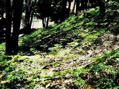 Vườn sâm Ngọc Linh hơn 15 năm tuổi trên núi Ngọc Linh.