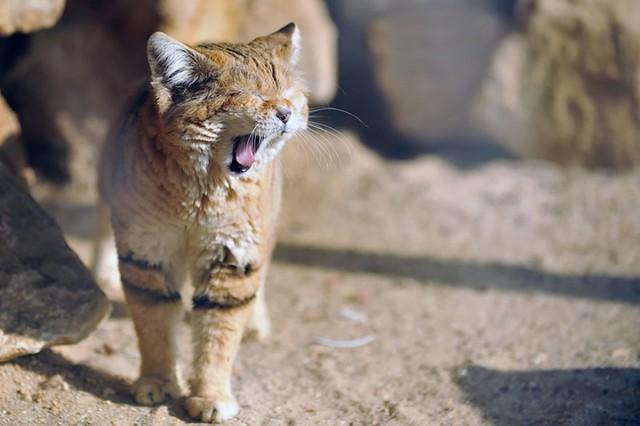 http://cdn.zmescience.com/wp-content/uploads/cache/2015/07/sand-cats-kittens-forever-10__880/799142680.jpg