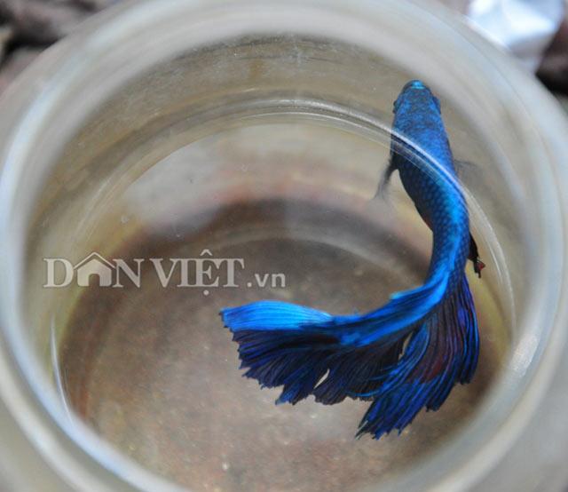 Một chú cá chọi màu xanh mới lớn.
