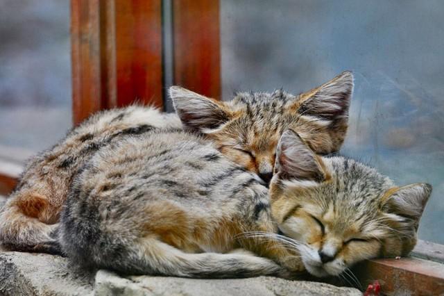 http://cdn.zmescience.com/wp-content/uploads/cache/2015/07/sand-cats-kittens-forever-13/693765039.jpg