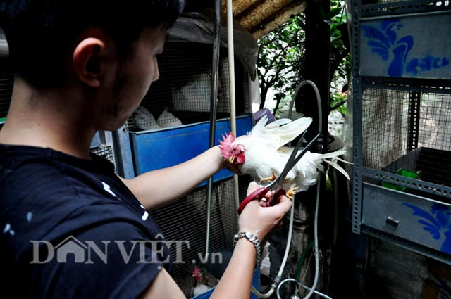 Anh Huế đang cắt tỉa lôngcho một còn gà Serama lông trắng.
