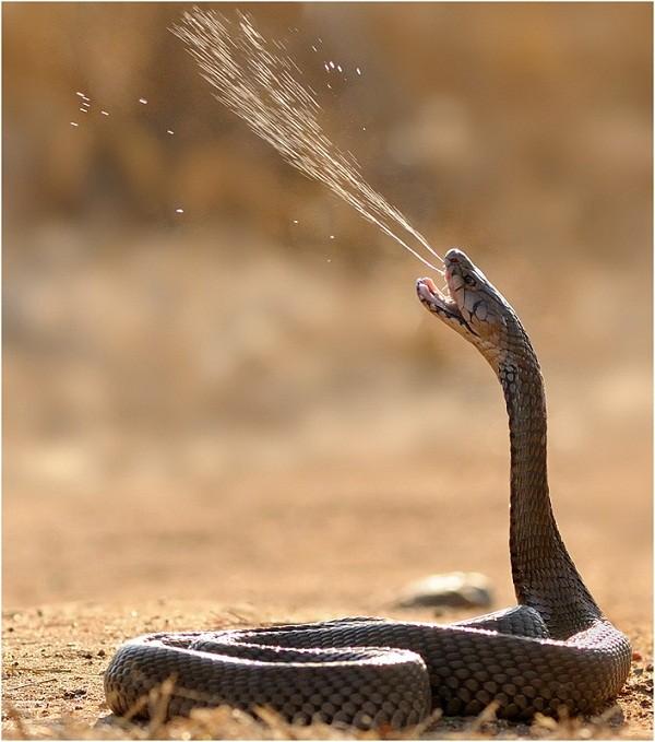 Huyền thoại về Cockatrice hay Basilisk có thể bắt nguồn từ rắn hổ mang Ai Cập.
