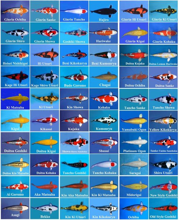 Càng ngày càng có nhiều loại cá Koi mới do lai tạo và công nghệ