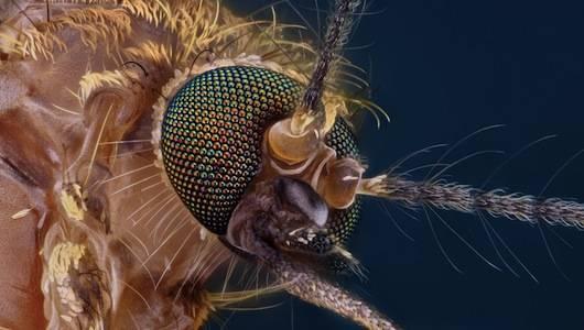Hình ảnh nghiên cứu chi tiết của đầu một con muỗi dưới kính hiển vi.