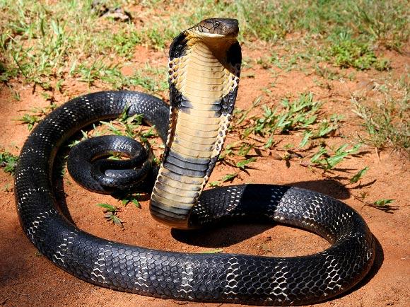các loại rắn hổ mang ở việt nam
