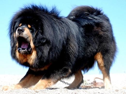 Những Tai Nạn đẫm Máu Vì Chó Ngao Tây Tạng