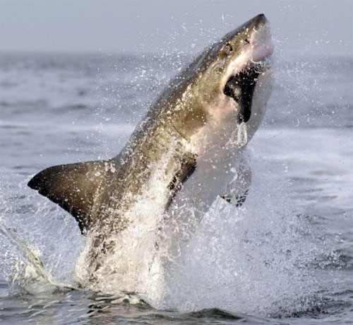 Cá mập trắng tung mình lên không trung ...