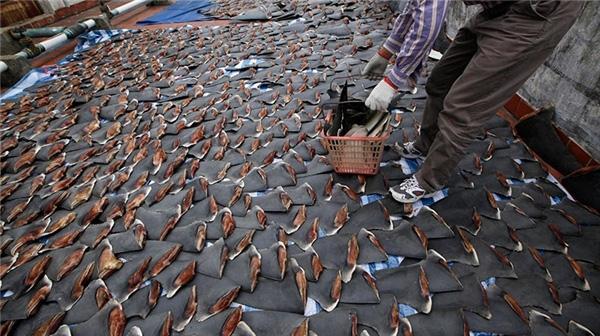 Số lượng vây cá khổng lồ chỉ trong một chuyến đánh bắt.