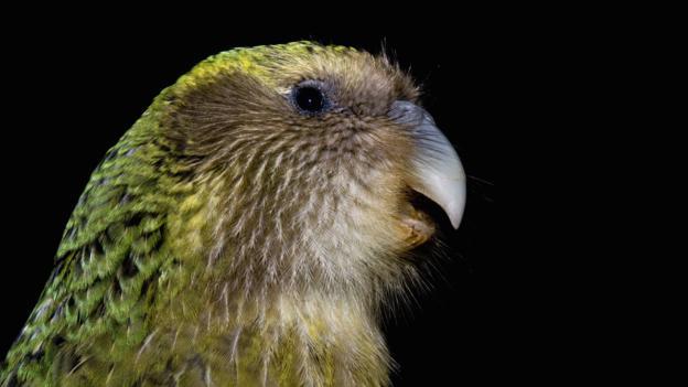 Việc tái thiết lại số lượng loài kakapo tại New Zealand gặp khó khăn bởi nguồn gen có hạn.