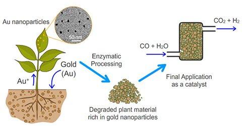 Kỹ thuật phytoming giúp thu hoạch vàng nano từ cây nhằm phục vụ ngành công nghiệp hóa chất.