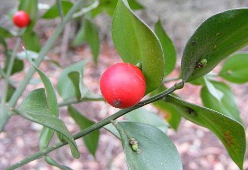 Quả mọc ra từ lá của cây Broom Butcher.