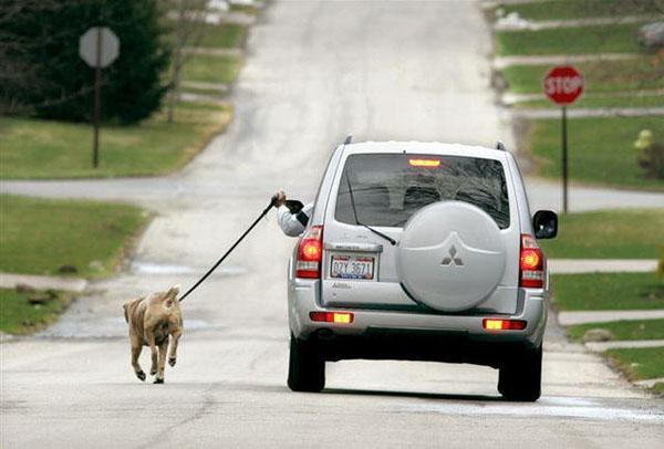 8. Dắt chó đi dạo bằng...ô tô sao?
