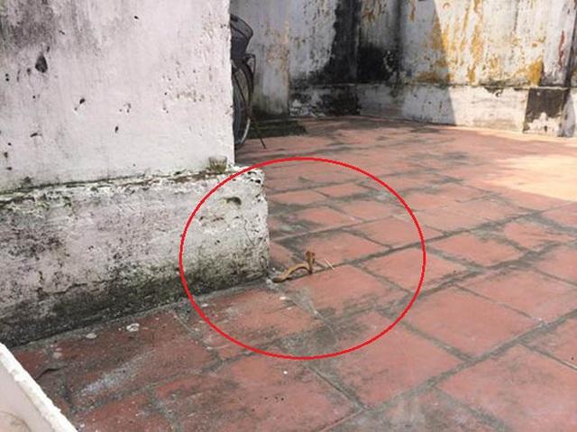Con rắn vàng chui lên từ sân chùa Liên Tỉnh (Nam Định) vào trưa 26/9.