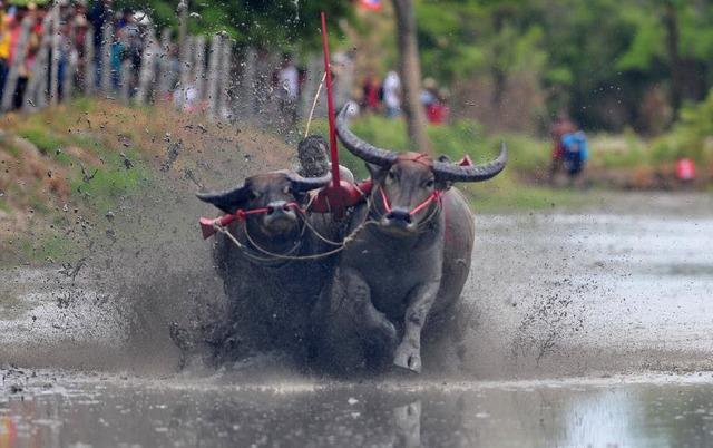 Một nông dân ttham gia cuộc thi đua trâu được tổ chức hàng năm tại tỉnh Chonburi, Thái Lan.