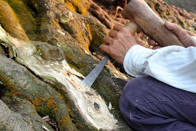 Hàng ngày ông Ba Hùng phải tự tayđục bỏ các phần cháy nắng, bị mối bên trên những gốc cây già cỗi. Ảnh: Zen Nguyễn.