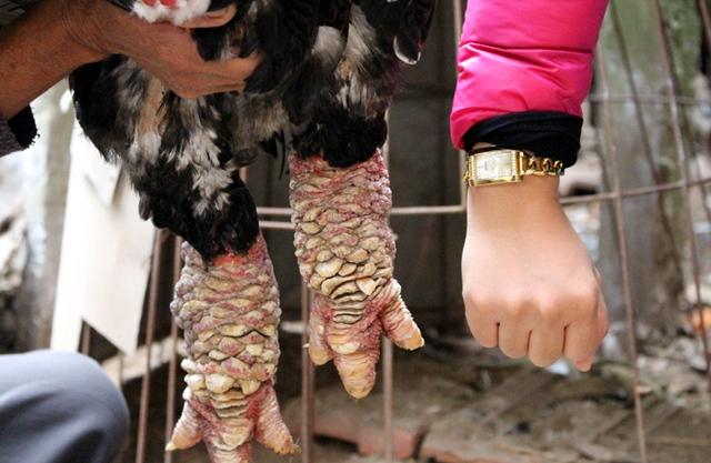 Chân gà to bằng cánh tay người lớn