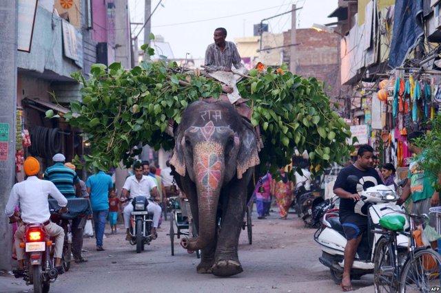 Người quản tượng sử dụng voi để vận chuyển lá trên đường phố ở Amritsar, Ấn Độ.