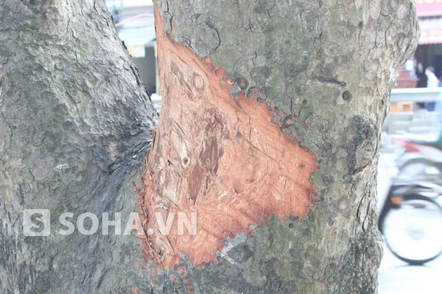 Những vết cạo nham nhở trên một thân cây xà cừ ở đường Lê Duẩn.