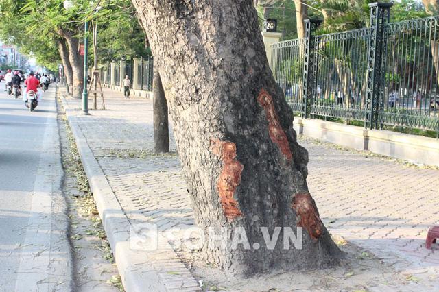 Cây xà cừ này có tới 3 vết bị cạo ở thân cây.