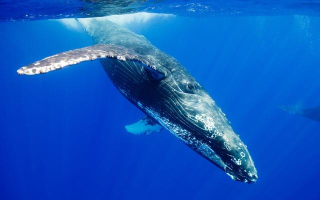Balaenoptera musculus (Cá voi xanh) - Đây là loài động vật lớn nhất từng sống và đang sống trên Trái Đất. Con lớn nhất từng được phát hiện có chiều dài hơn 33 m, nặng 190 tấn.