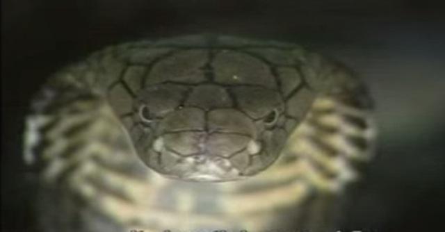 Đầu rắn hình tam giác.