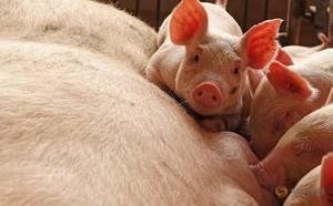 Ngành chăn nuôi lợn Trung Quốc gặp đại hạn ngay trước thềm năm Kỷ Hợi - ảnh 3