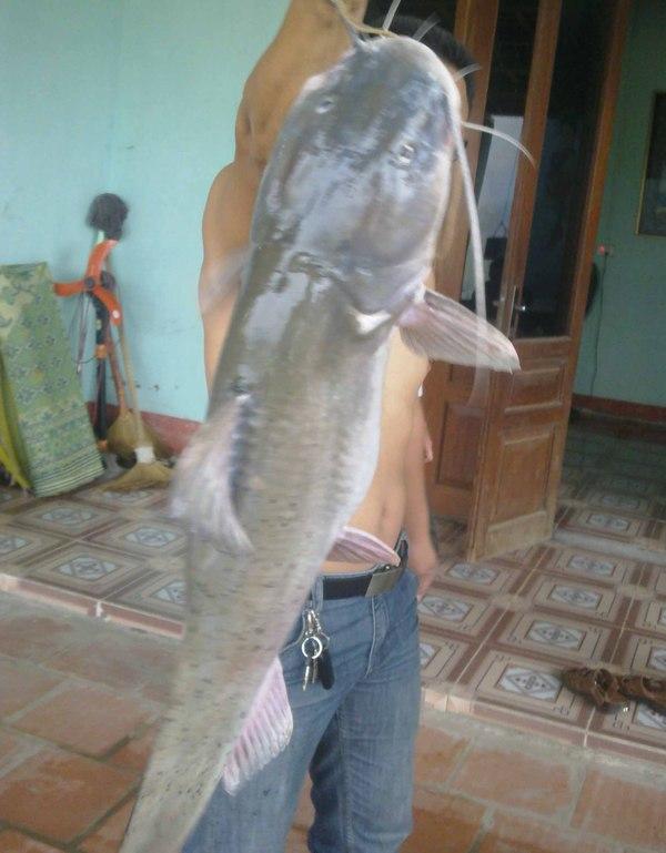 """Bắt được cá Lăng """"khổng lồ"""" trên sông Lô"""