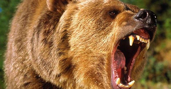 Bị cơn đói hành hạ, gấu xám liều lĩnh độc chiến 4 con sói để cướp mồi